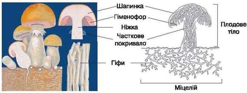 греет само нарисовать гриб в разрезе товара всей